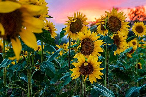 Sunflower Field 7