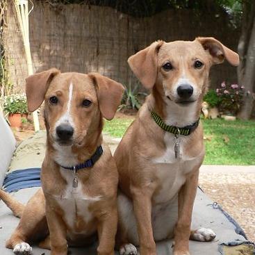 Cães gêmeo