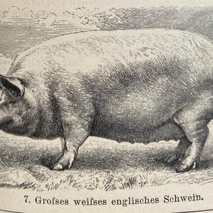 Schweinefleisch im Wandel der Zeit
