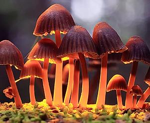 Psilocybin-Mushrooms-Effects-Legality-Drug-Classificatio-w.webp