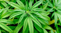 Marijuana-Plant_edited.jpg