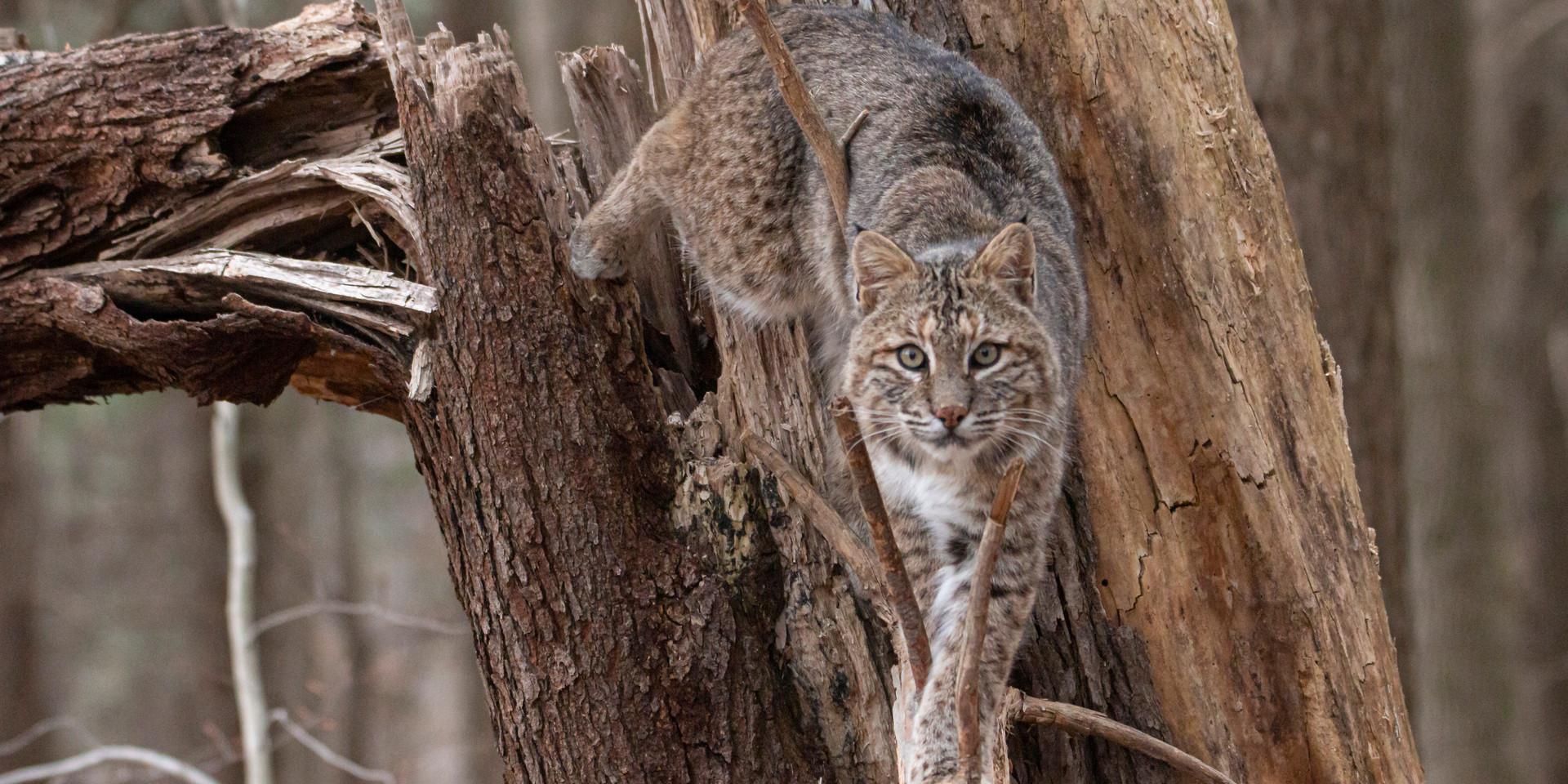 American Lynx (Bobcat)