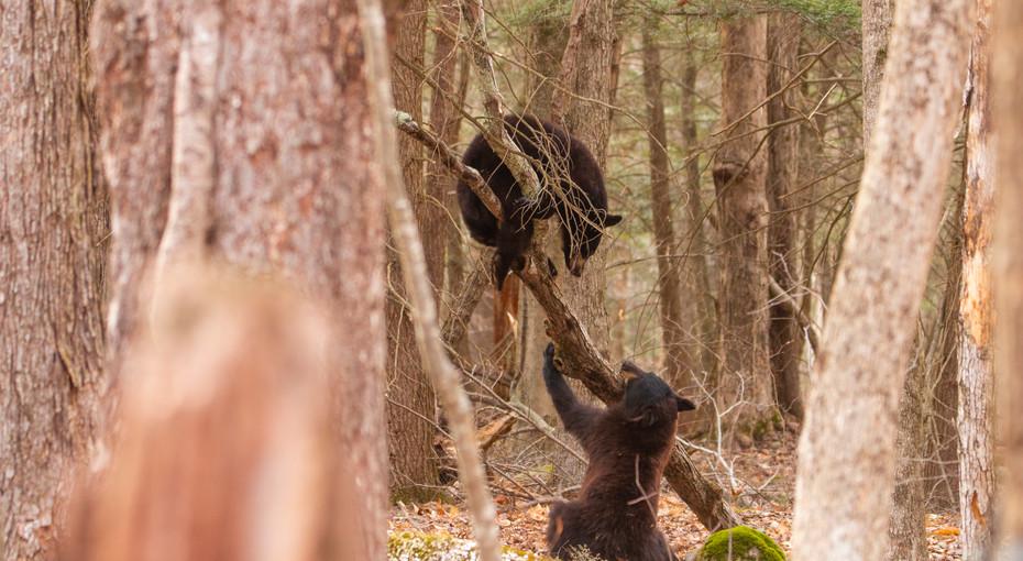 American Black Bear Cubs