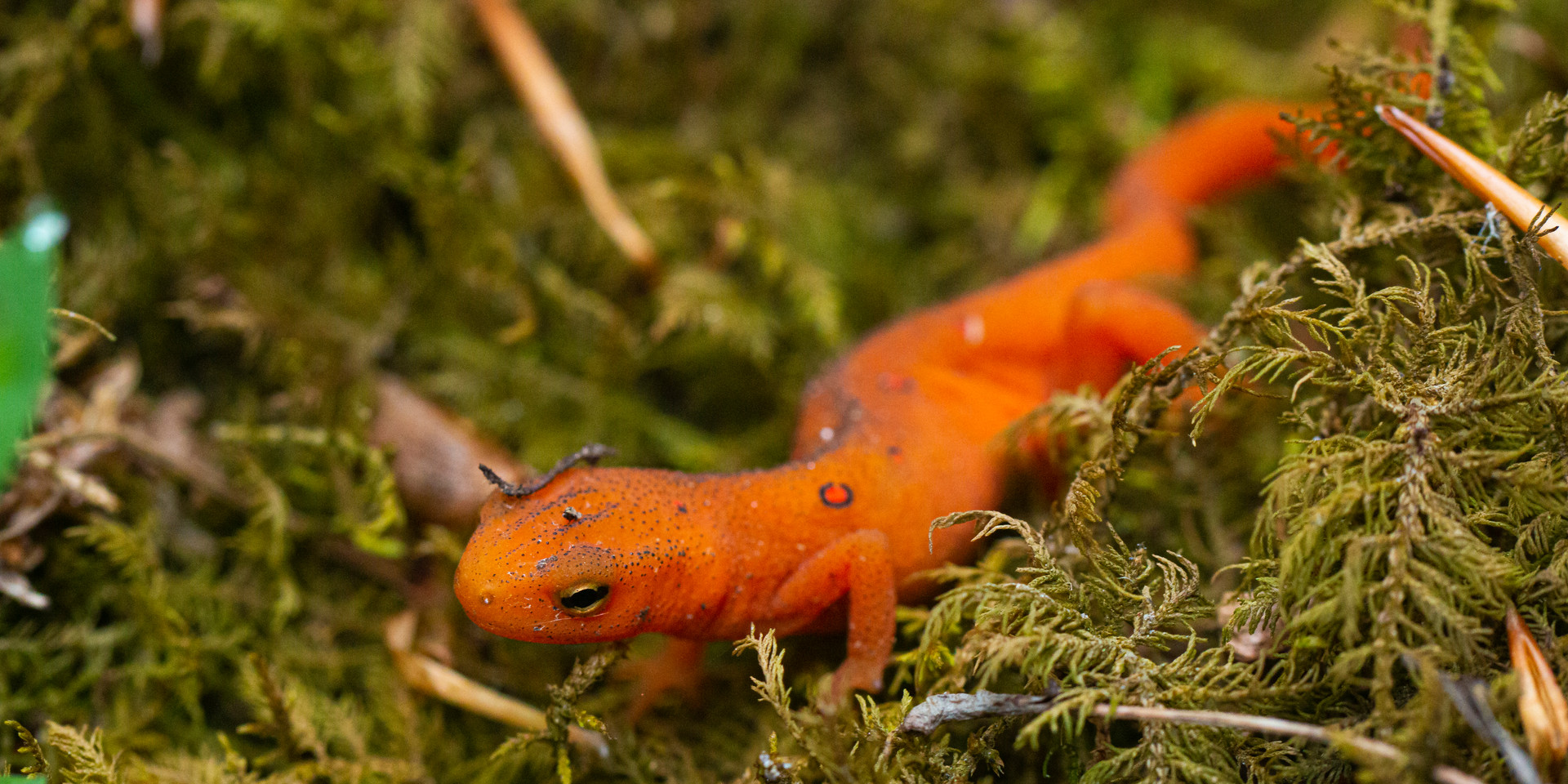Eastern Newt (eft stage)