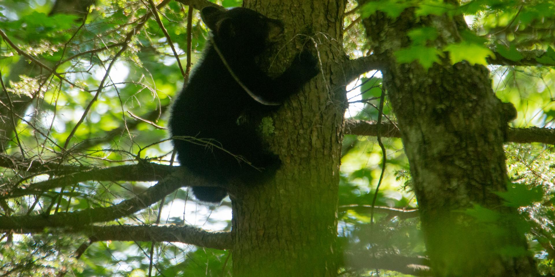 American Black Bear Cub (~4 months old)