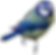 Meise Blaumeise blau-gelb Europa Vogel