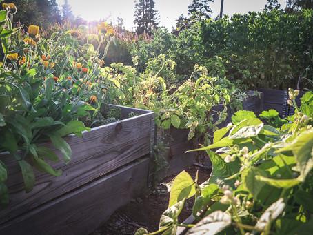 Kasvimaan tai lavapuutarhan perustaminen pienellä budjetilla