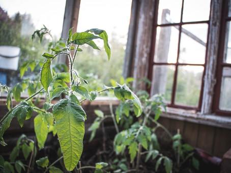 Superlannoitus tomaateille ja uusi kokeilu