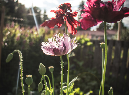 Neljä helppoa kukkaa kasvimaalle