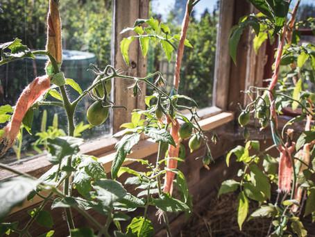 Tuoreita tomaatteja tammikuussa - talvitomaatin kasvatus