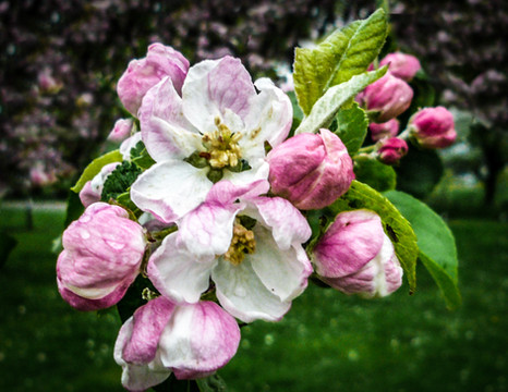 Apple Blosson by Paul Dumbleton