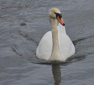 Mute Swan 2.jpg