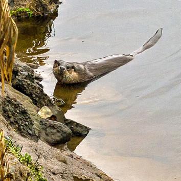 Otter by Paul Dumbleton
