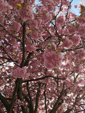 Cherry Blossom taken by Emily McLaughlin