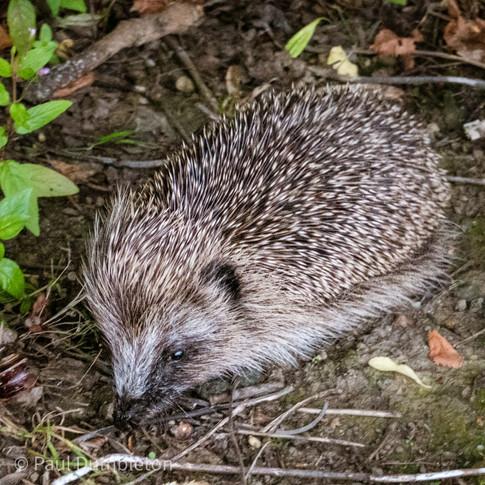 Hedgehog by Paul Dumbleton