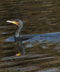 cormorant_7902015 (1).jpg