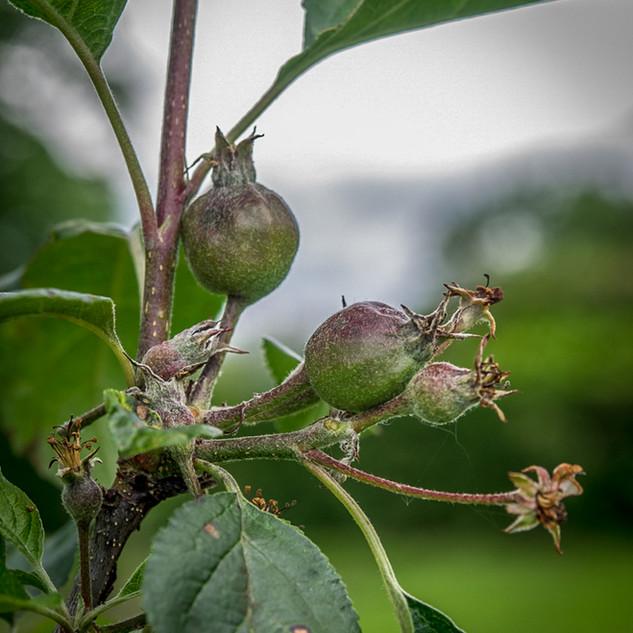 Orchard (5).jpg