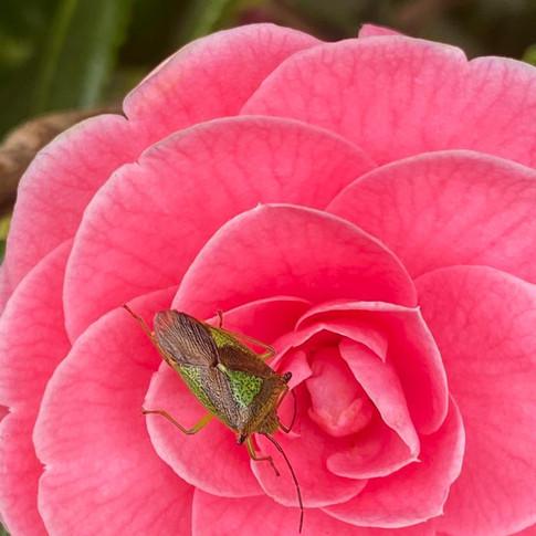 Shield Bug by Alison Swanson
