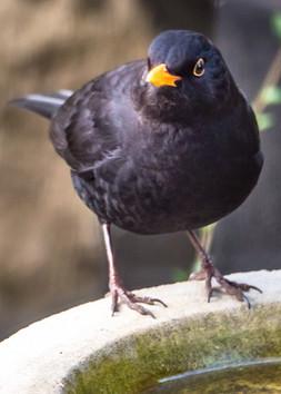 Blackbird by Sue Dumbleton