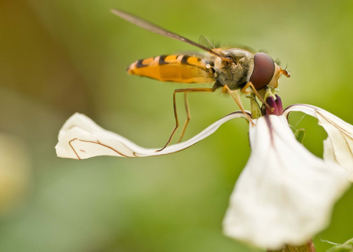 Hoverfly by Pat Morrissey