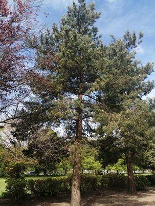 Scot's Pine taken by Emily McLaughlin