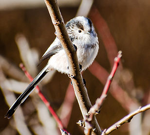 Long Tailed Tit .jpg