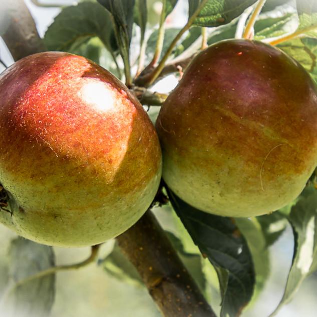 Orchard (9).jpg