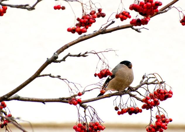 Bullfinch by Pat Morrisey