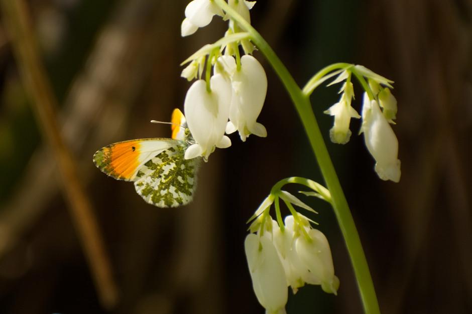 Orange Tipped Butterfly.jpg