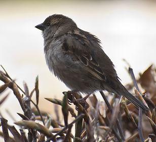 sparrowDSC_9394_1.jpg