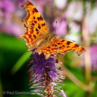 Comma Butterfly by Paul Dumbleton