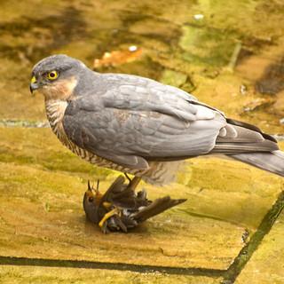 Sparrowhawk by Pat Morrisey