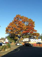 Red Oak.jpg
