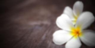 white frangipani flower