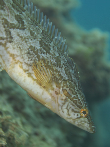 giant kelpfish 01.jpg