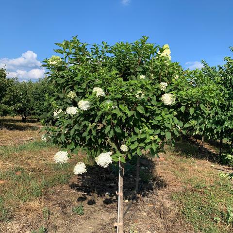 Hydrangea Paniculata 'Limelight' Tree Form
