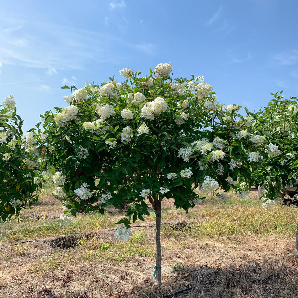 Hydrangea Paniculata 'PeeGee' Tree Form