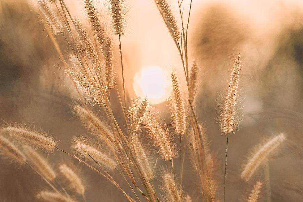 Grass flowers in sunset time, orange gra