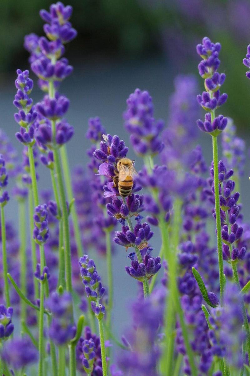 srlf lavender bee bloom.jpg