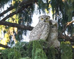 great horned owl #3web.jpg