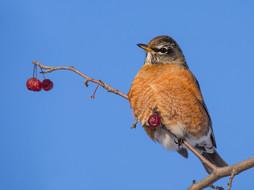 Over-wintering Robin
