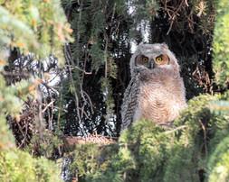 great horned owl #4web.jpg