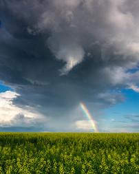 Canola Rainbow