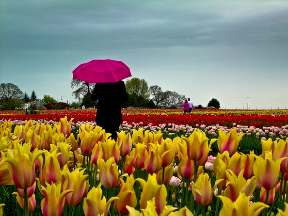 Wooden Shoe Tulip Festival, Woodburn, Oregon
