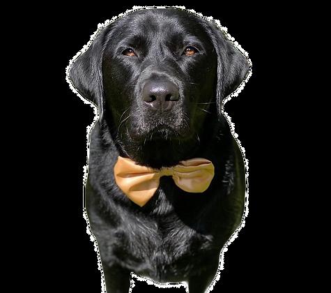 Gold satin bow tie