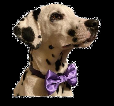 Lavender satin bow tie