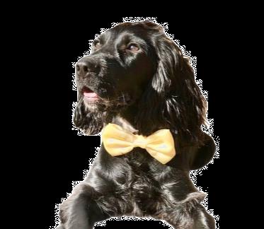 Pale Yellow satin bow tie