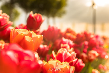 Ein holländischer Exportschlager: Tulpen
