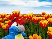 Blu & die weiten Tulpenfelder