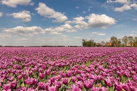Tulpenfelder in Flevoland, Holland